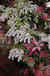 Valley Fire Japanese Pieris (Pieris japonica 'Valley Fire') at Martin's Home and Garden