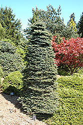 Dwarf Blue Spruce (Picea pungens 'Nana') at Martin's Home and Garden
