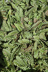 Brass Buttons (Leptinella squalida) at Martin's Home & Garden