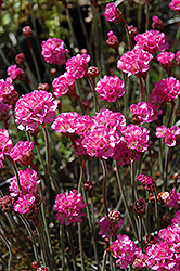 Red-leaved Sea Thrift (Armeria maritima 'Rubrifolia') at Martin's Home & Garden
