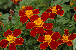 Disco Red Marigold (Tagetes patula 'Disco Red') at Martin's Home and Garden