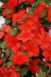 Super Elfin® Scarlet Impatiens (Impatiens walleriana 'Super Elfin Scarlet') at Martin's Home and Garden