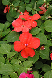 Super Elfin® Salmon Impatiens (Impatiens walleriana 'Super Elfin Salmon') at Martin's Home & Garden