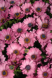 Astra® Pink African Daisy (Osteospermum 'Astra Pink') at Martin's Home and Garden