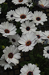 Summertime Sweet White African Daisy (Osteospermum 'Summertime Sweet White') at Martin's Home & Garden