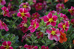 Superbells® Cherry Star Calibrachoa (Calibrachoa 'Superbells Cherry Star') at Martin's Home and Garden