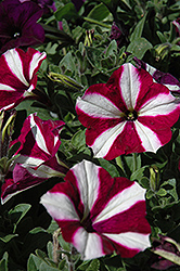Easy Wave Burgundy Star Petunia (Petunia 'Easy Wave Burgundy Star') at Martin's Home and Garden