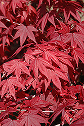 Emperor I Japanese Maple (Acer palmatum 'Wolff') at Martin's Home & Garden