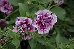 Ruffle Plum Vein Petunia (Petunia 'Ruffle Plum Vein') at Martin's Home and Garden