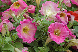 Surprise Pink Lemonade Petunia (Petunia 'Surprise Pink Lemonade') at Martin's Home & Garden