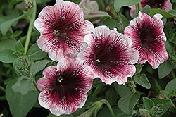 Sweetunia Mystery Petunia (Petunia 'Sweetunia Mystery') at Martin's Home and Garden