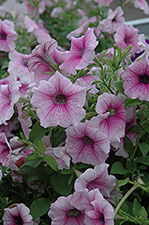 Shock Wave Pink Vein Petunia (Petunia 'Shock Wave Pink Vein') at Martin's Home and Garden