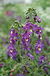 Blue Angelonia (Angelonia angustifolia 'Blue') at Martin's Home & Garden