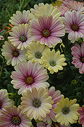 Summertime Sunrise African Daisy (Osteospermum 'Summertime Sunrise') at Martin's Home & Garden