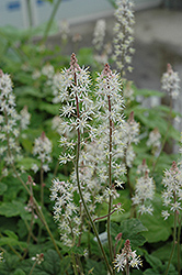 Dark Star Foamflower (Tiarella 'Dark Star') at Martin's Home & Garden