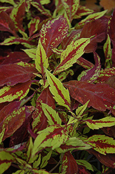 Pineapple Coleus (Solenostemon scutellarioides 'Pineapple') at Martin's Home and Garden