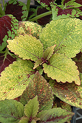 Honey Crisp Coleus (Solenostemon scutellarioides 'Honey Crisp') at Martin's Home & Garden
