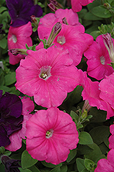 Madness Pink Petunia (Petunia 'Madness Pink') at Martin's Home and Garden