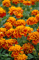 Little Hero Flame Marigold (Tagetes patula 'Little Hero Flame') at Martin's Home & Garden