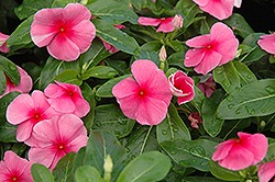 Sunstorm Rose with Eye Vinca (Catharanthus roseus 'Sunstorm Rose with Eye') at Martin's Home and Garden