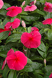 Sunstorm Red Vinca (Catharanthus roseus 'Sunstorm Red') at Martin's Home and Garden