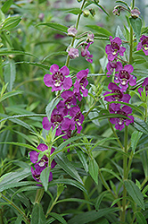 Archangel™ Deep Plum Angelonia (Angelonia angustifolia 'Archangel Deep Plum') at Martin's Home & Garden