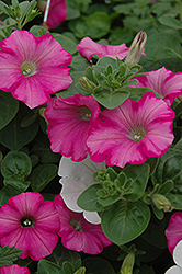 Supertunia® Raspberry Blast Petunia (Petunia 'Supertunia Raspberry Blast') at Martin's Home and Garden