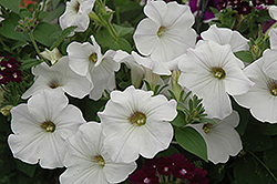 Sanguna White Petunia (Petunia 'Sanguna White') at Martin's Home and Garden