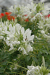 Spirit Frost Spiderflower (Cleome hassleriana 'Spirit Frost') at Martin's Home and Garden
