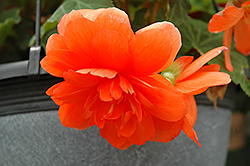 Nonstop® Orange Begonia (Begonia 'Nonstop Orange') at Martin's Home and Garden