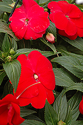 Sonic® Red New Guinea Impatiens (Impatiens 'Sonic Red') at Martin's Home and Garden