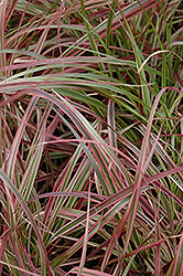 Fireworks Fountain Grass (Pennisetum setaceum 'Fireworks') at Martin's Home and Garden