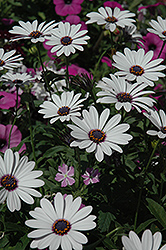Soprano White African Daisy (Osteospermum 'Soprano White') at Martin's Home and Garden
