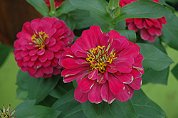 Magellan Cherry Zinnia (Zinnia 'Magellan Cherry') at Martin's Home and Garden
