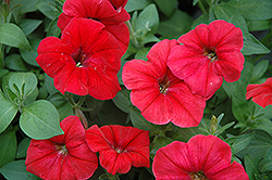 Hurrah Red Petunia (Petunia 'Hurrah Red') at Martin's Home & Garden