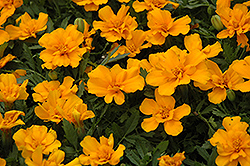 Safari Orange Marigold (Tagetes patula 'Safari Orange') at Martin's Home and Garden
