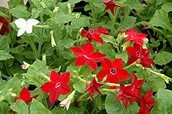 Saratoga Mix Flowering Tobacco (Nicotiana 'Saratoga Mix') at Martin's Home and Garden