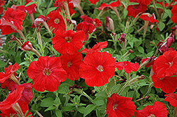 Picobella Red Petunia (Petunia 'Picobella Red') at Martin's Home and Garden
