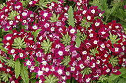 Obsession Burgundy With Eye Verbena (Verbena 'Obsession Burgundy With Eye') at Martin's Home & Garden