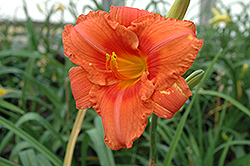South Seas Daylily (Hemerocallis 'South Seas') at Martin's Home & Garden