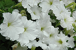 Madness White Petunia (Petunia 'Madness White') at Martin's Home and Garden