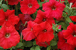 Easy Wave Red Petunia (Petunia 'Easy Wave Red') at Martin's Home and Garden