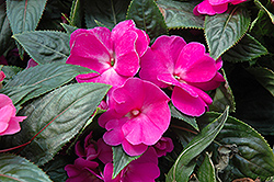 Celebration Purple New Guinea Impatiens (Impatiens hawkeri 'Celebration Purple') at Martin's Home and Garden