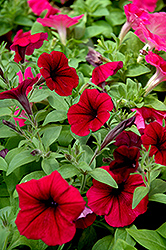 Shock Wave Deep Purple Petunia (Petunia 'Shock Wave Deep Purple') at Martin's Home & Garden