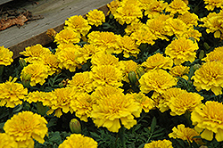 Janie Bright Yellow Marigold (Tagetes patula 'Janie Bright Yellow') at Martin's Home & Garden