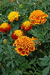 Janie Flame Marigold (Tagetes patula 'Janie Flame') at Martin's Home and Garden