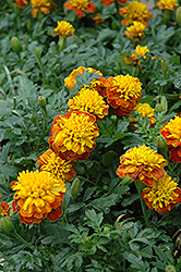 Janie Spry Marigold (Tagetes patula 'Janie Spry') at Martin's Home and Garden