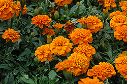 Janie Deep Orange Marigold (Tagetes patula 'Janie Deep Orange') at Martin's Home and Garden