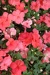Super Elfin® XP Melon Impatiens (Impatiens walleriana 'Super Elfin XP Melon') at Martin's Home & Garden