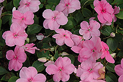 Super Elfin® XP Pink Impatiens (Impatiens walleriana 'Super Elfin XP Pink') at Martin's Home and Garden